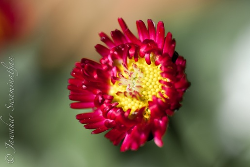 Bellis: Brightening up my day!