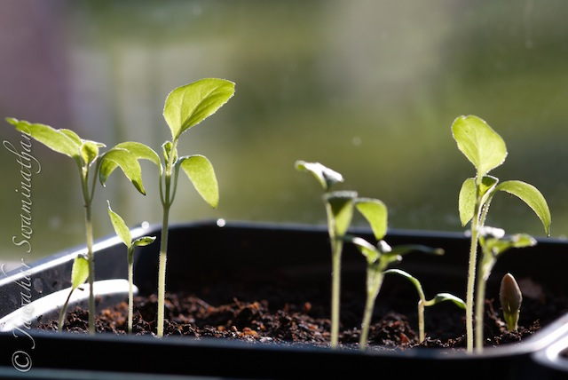 Growing Indian Vegetables in the UK (5/5)