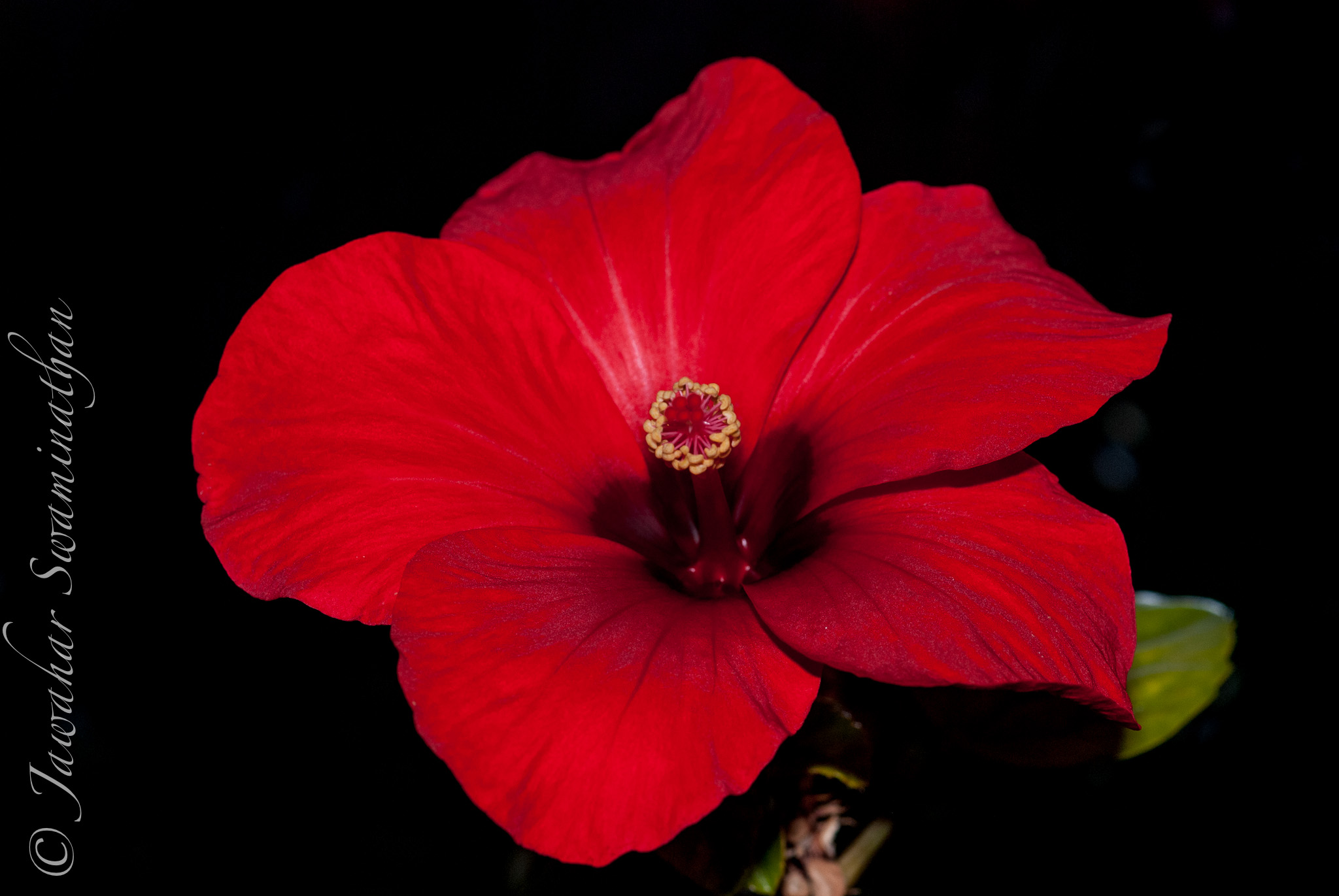 Anatomy of a hibiscus part 2 extreme macro juridicious a fully open hibiscus flower izmirmasajfo Image collections