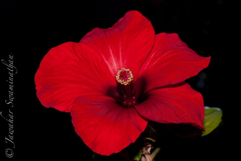 A fully open hibiscus flower