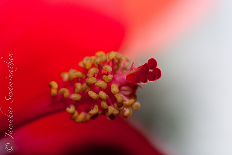 Detail of a hibiscus stamen and stigma