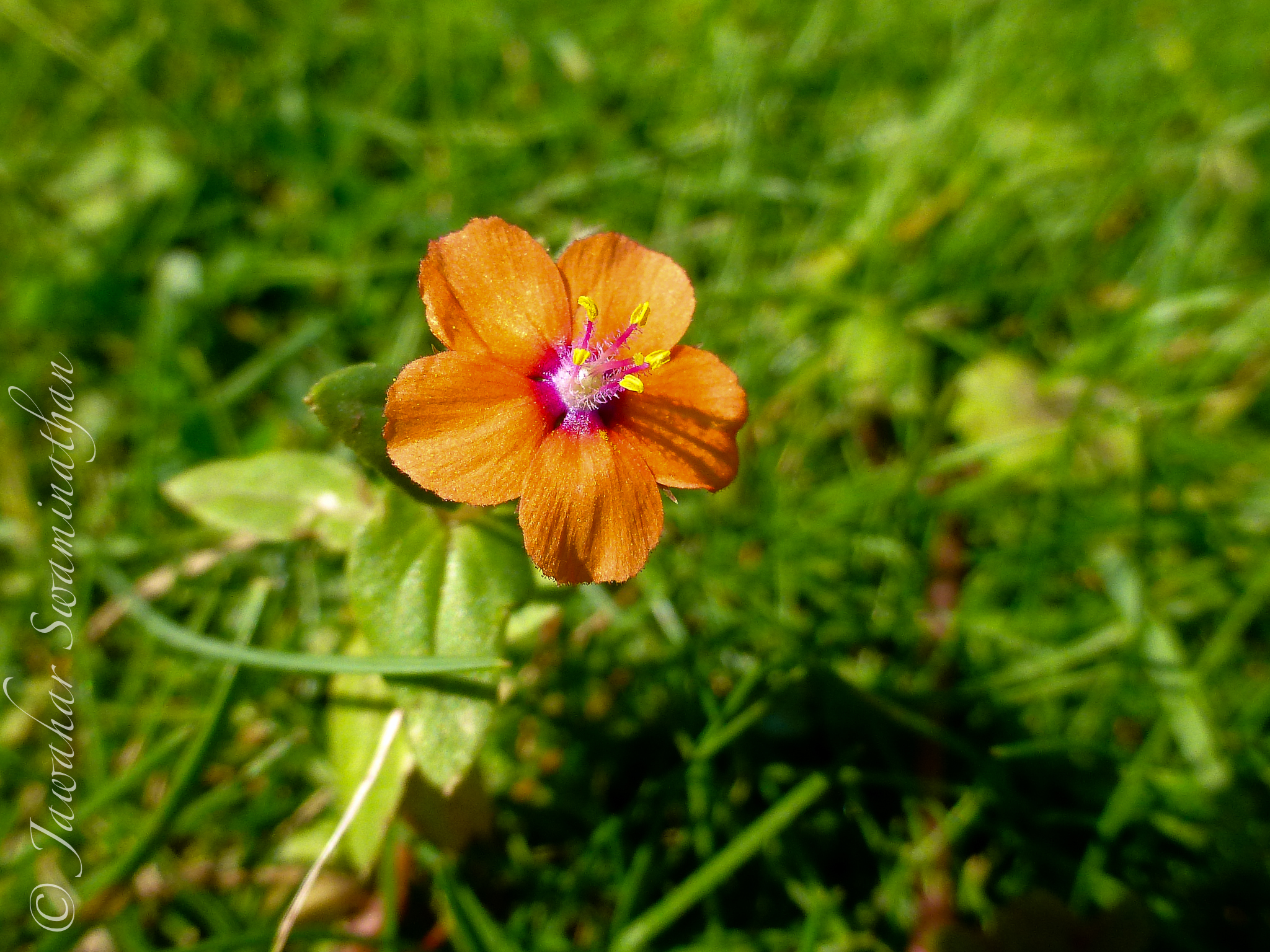 British Wildflowers – Scarlet Pimpernel | Juridicious
