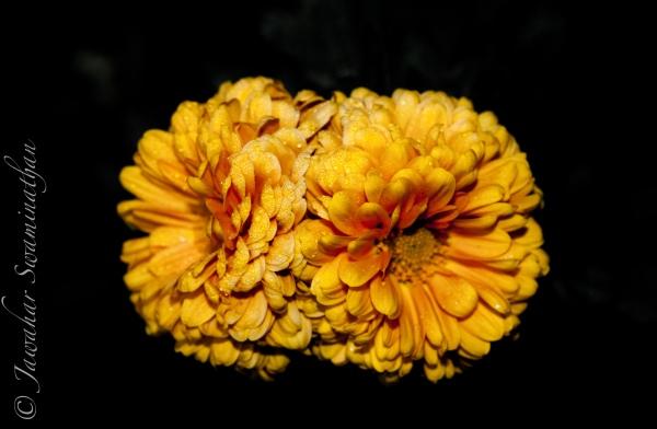 Chrysanthemum - on black