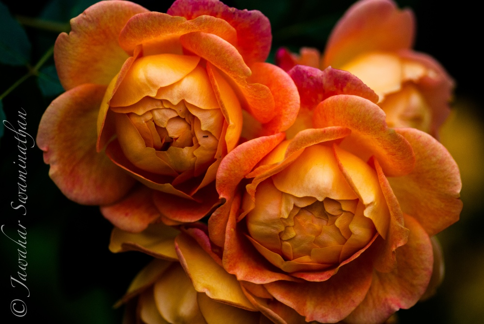 Photographing Roses (1/6)