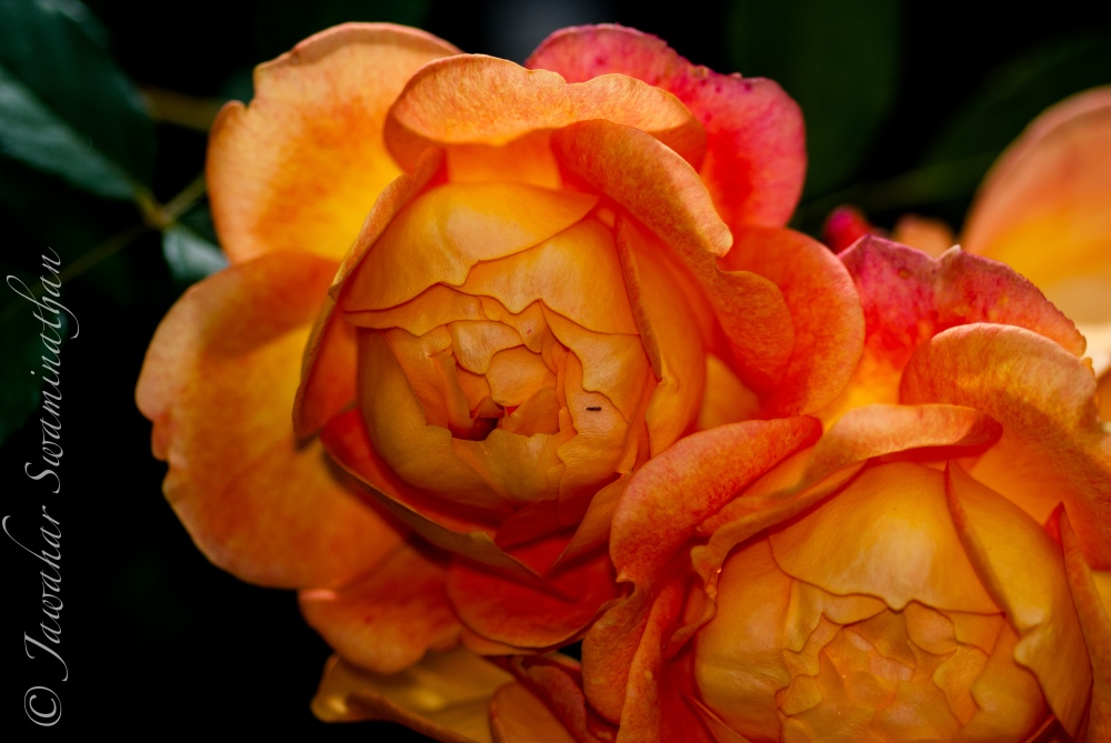 Photographing Roses (2/6)