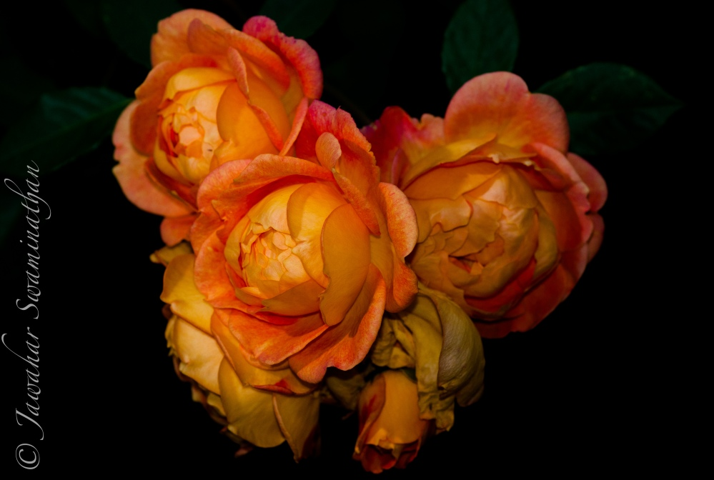 Photographing Roses (6/6)