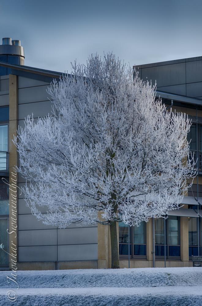 Cherry tree blooming ice