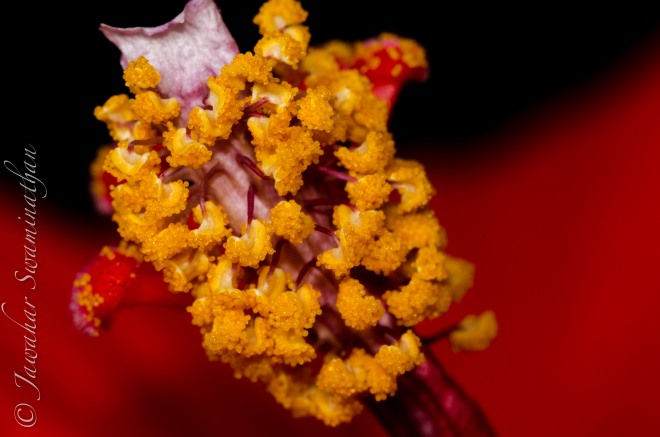 Detail of a Hibiscus flower stamen.