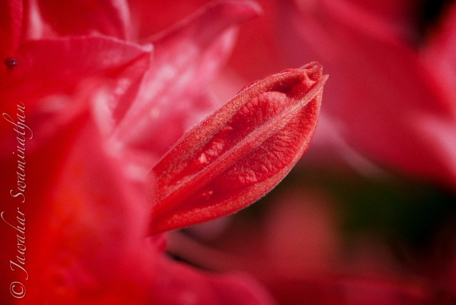 Peeking from a sea of red - Azalea bud