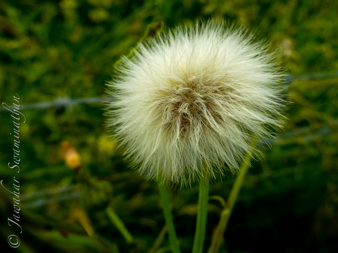 Sow-thistle seeds (Sonchus arvensis)