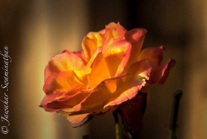 A rose in winter!!